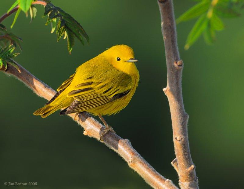 _NW85107 Yellow Warbler.jpg