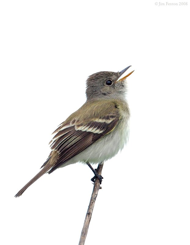 _NW86607 Flycatcher.jpg