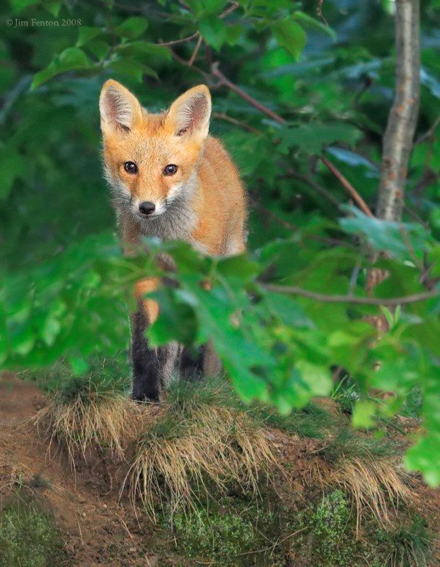 _NW86999 Fox Kit Hilltop Brush.jpg