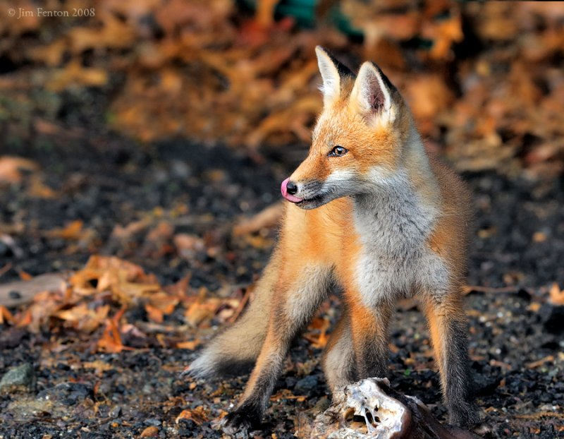 _NW87064 FoX Kit LL Licking Chops.jpg