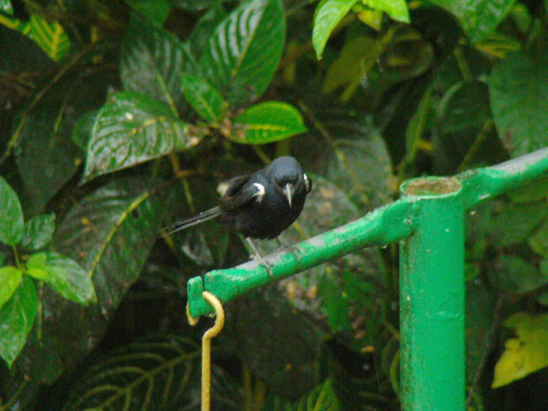 White-lined Tananger (male) 2