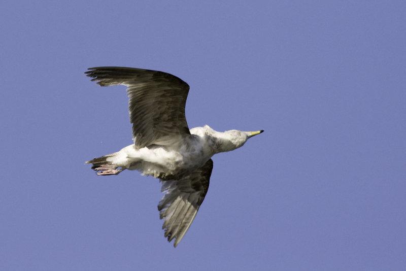Ring-billed gull - immature