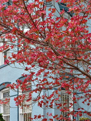 Red dogwood on blue