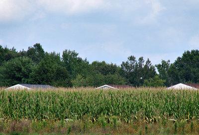 Eastern Shore cornfield