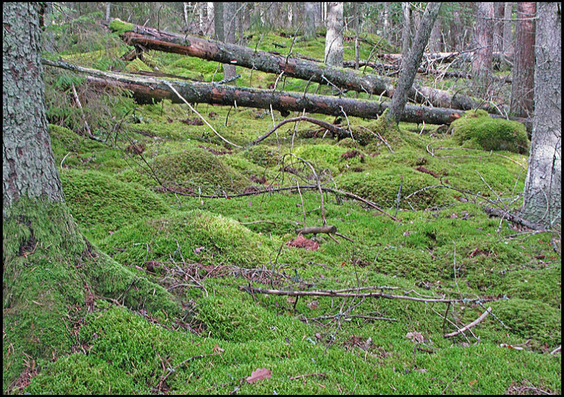 Old Pine Forest.jpg