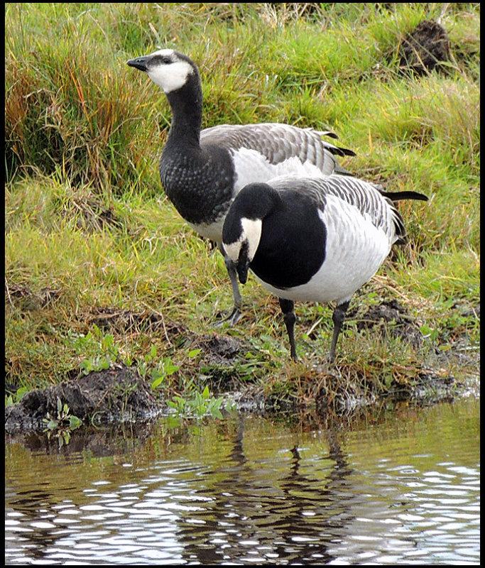 Barnacle Goose - Branta leocopsis - Vitkindad gås.jpg