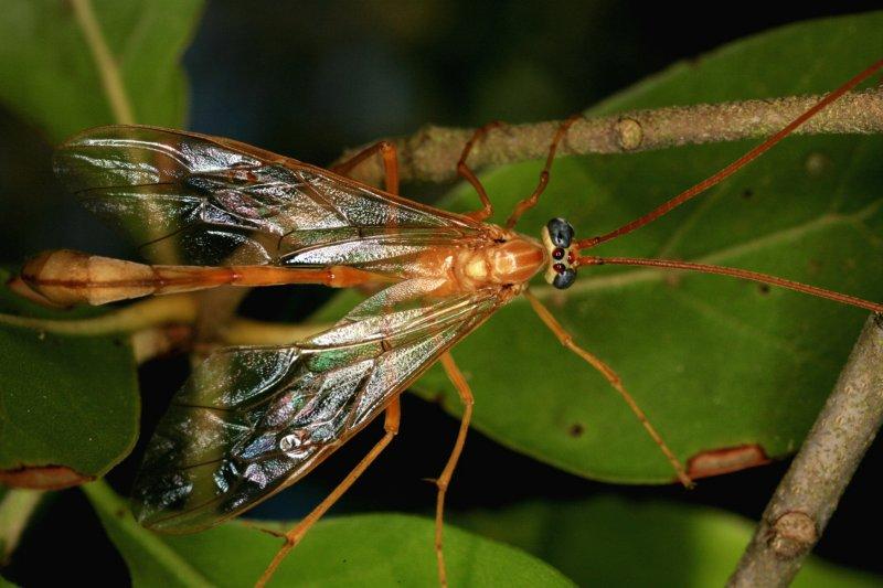 Ichneumon Wasp 041308 044r.jpg