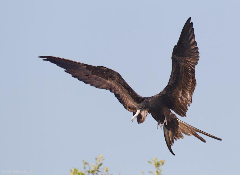 MagnificentFrigatebird13c6118.jpg