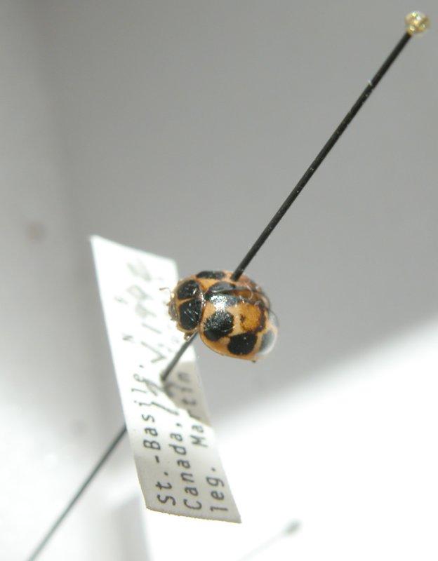 Calvia quatuordecimguttata(Linnaeus)P235