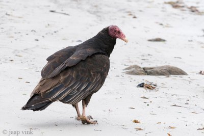 Turkey Vulture - Kalkoengier - Cathartes aura