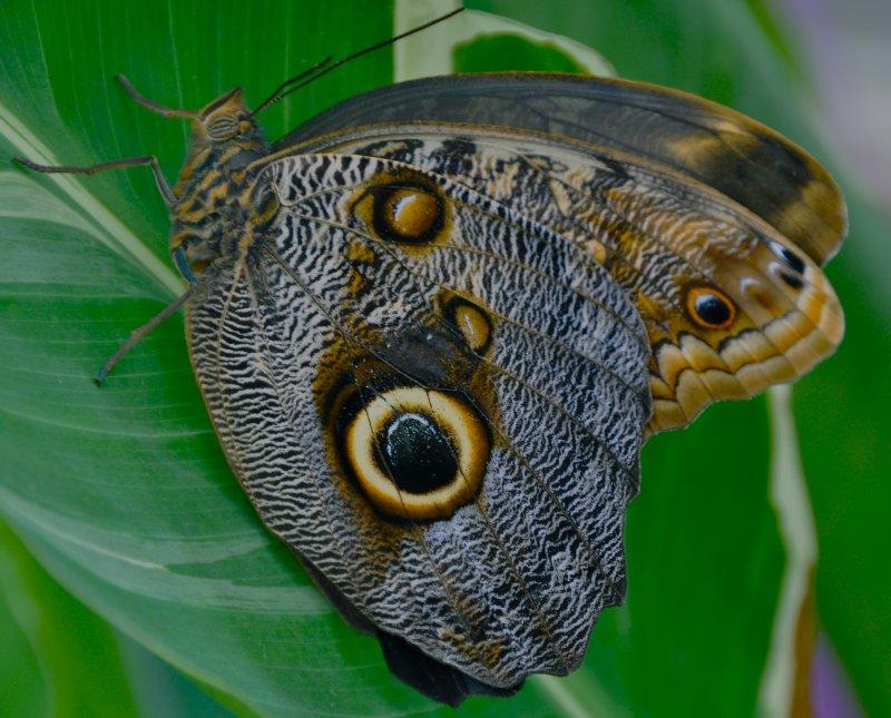 Mournful Owl Caligo eurilochus. Mexico and Guatemala to Amazon basin