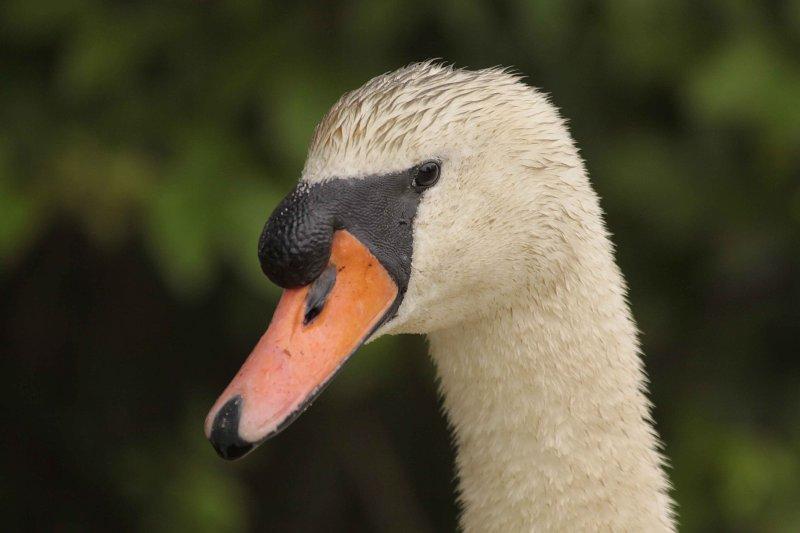 Swans 6 10 09