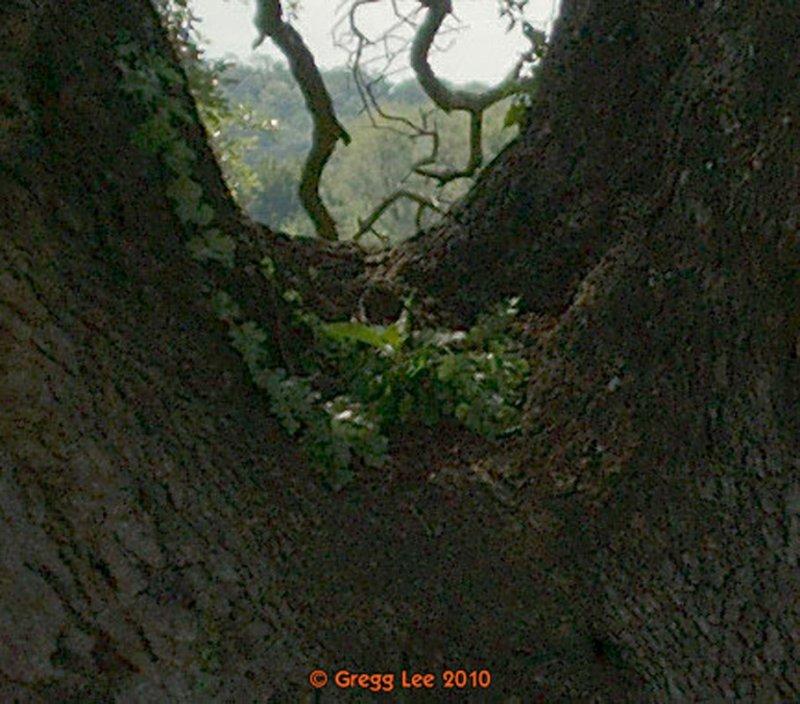 Texas Live Oak (quercus fusimormis)