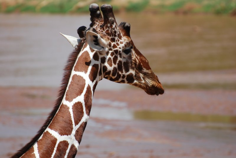 Reticulated giraffe - the fourth of the Samburu Five