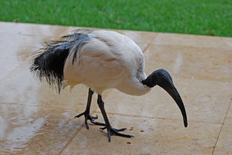 A sacred ibis comes onto our patio to check things out