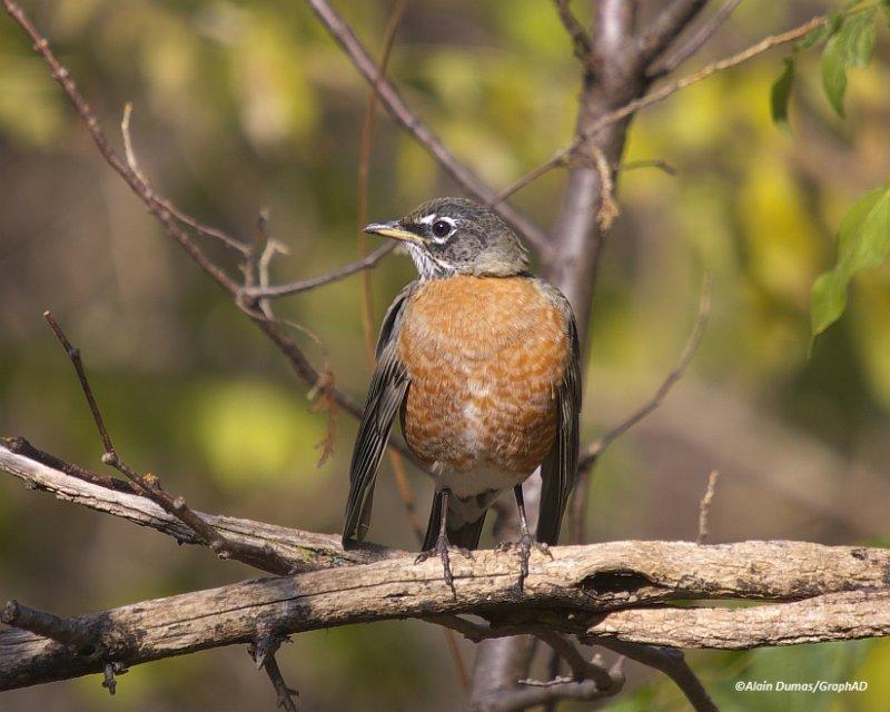 Merle dAmérique Mâle - Male American Robin