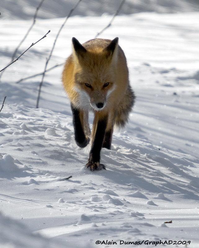 Renard Roux - Red Fox 003