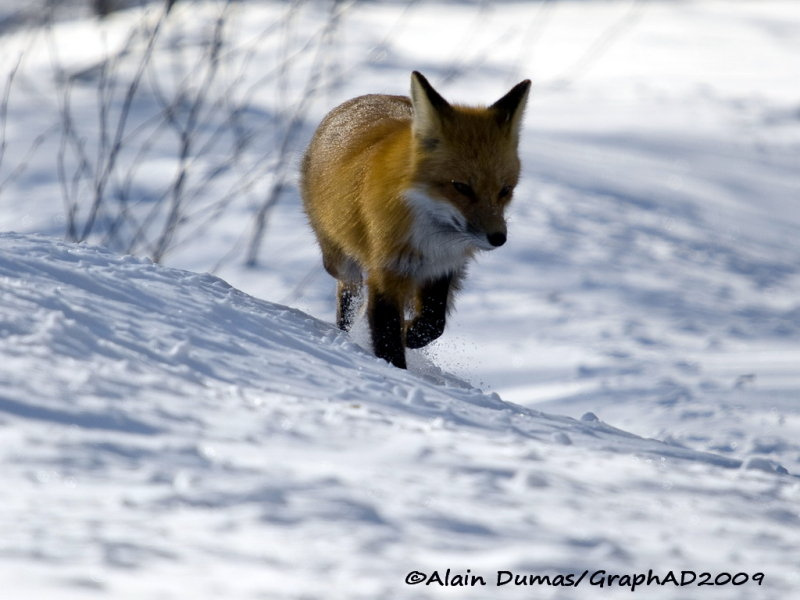 Renard Roux - Red Fox 005