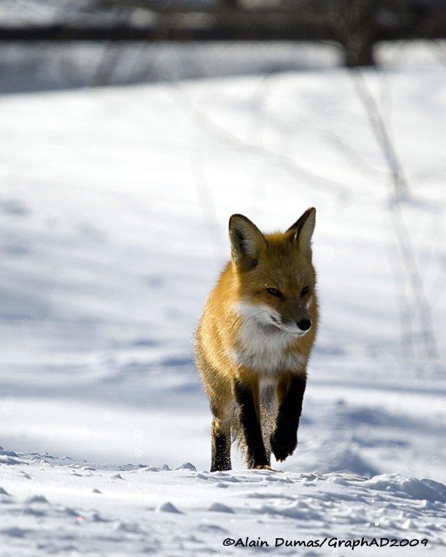 Renard Roux - Red Fox 007