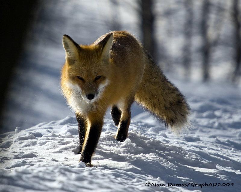 Renard Roux - Red Fox 008