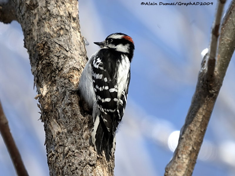 Pic Mineur Mâle - Male Downy Woodpecker