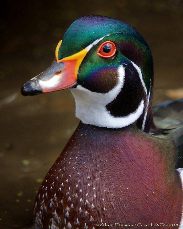 Canard Branchu Mâle - Male Wood Duck