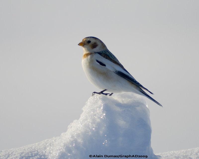 Bruants des Neiges - Snow Bunting 008
