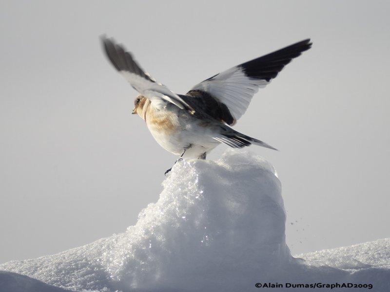 Bruants des Neiges - Snow Bunting 009