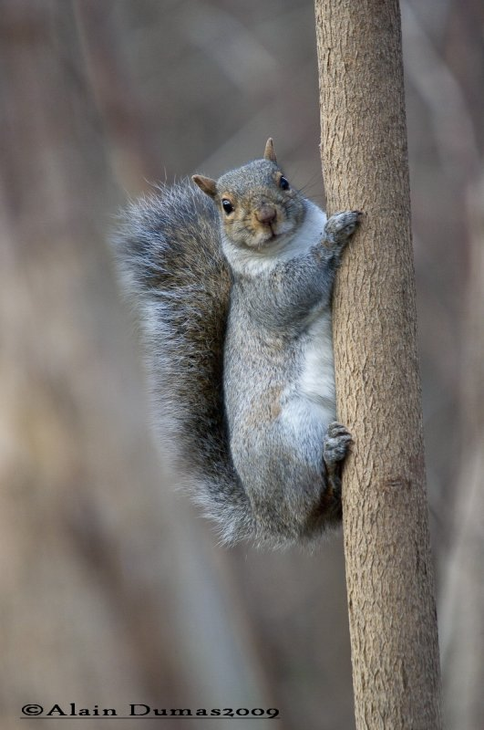 Écureuil Gris - Grey Squirrel