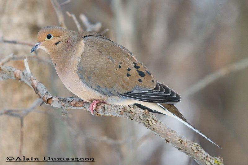 Tourterelle - Mourning Dove