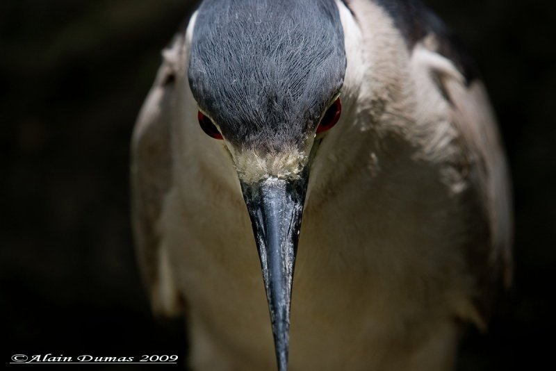 Bihorau Gris - Black Crowned Night-Heron - 008