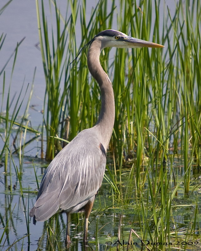 Grand Héron - Great Blue Heron - 017