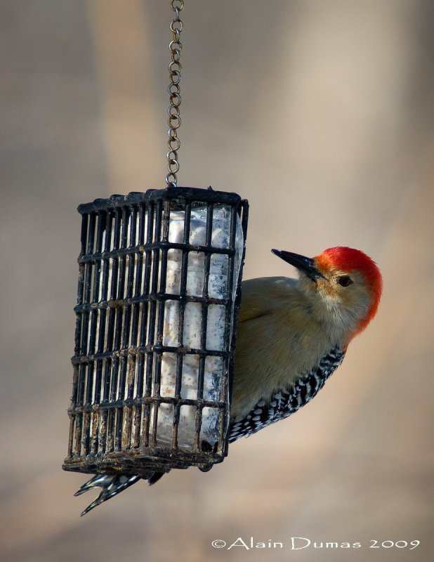 Pic à ventre roux Mâle - Male Red-Bellied Woodpecker - 005