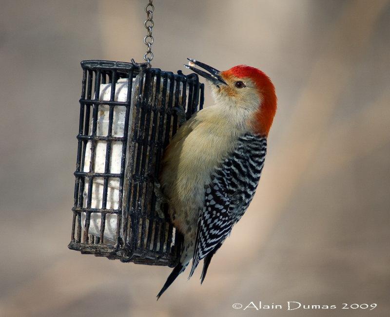 Pic à ventre roux Mâle - Male Red-Bellied Woodpecker - 006