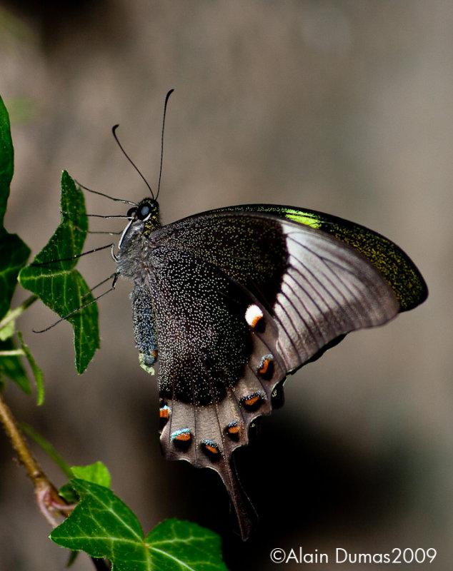 Papilio Papinurus 001