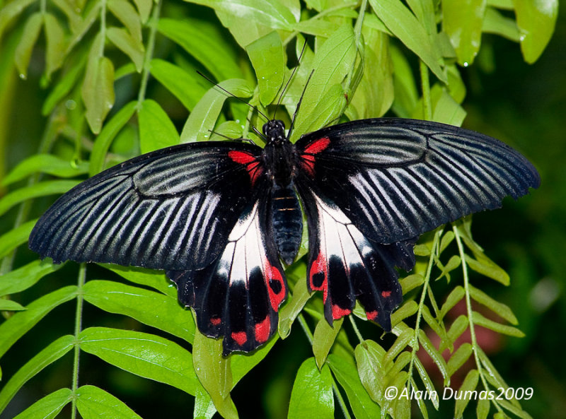 Papilio Rumanzovia 001