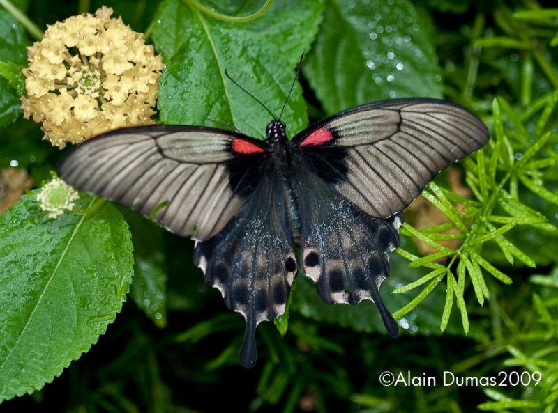 Papilio Memmon 003