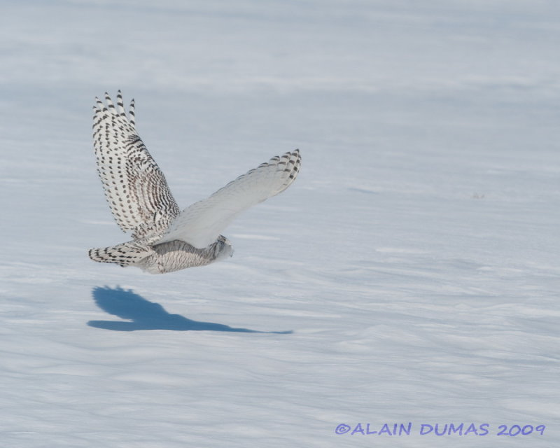 Harfang des Neiges - Snowy Owl 003