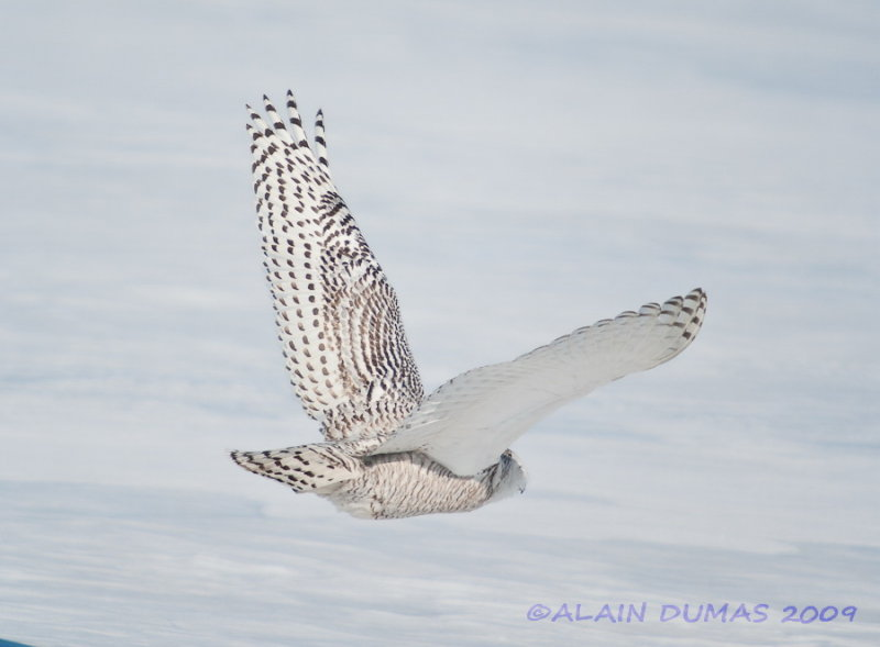 Harfang des Neiges - Snowy Owl 004
