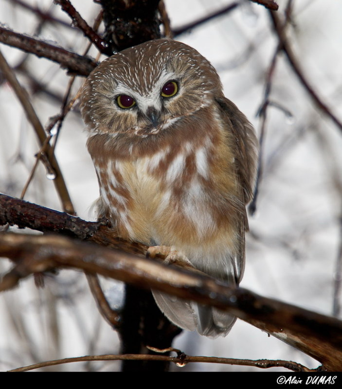Petite Nyctale - Northern Saw- whet Owl