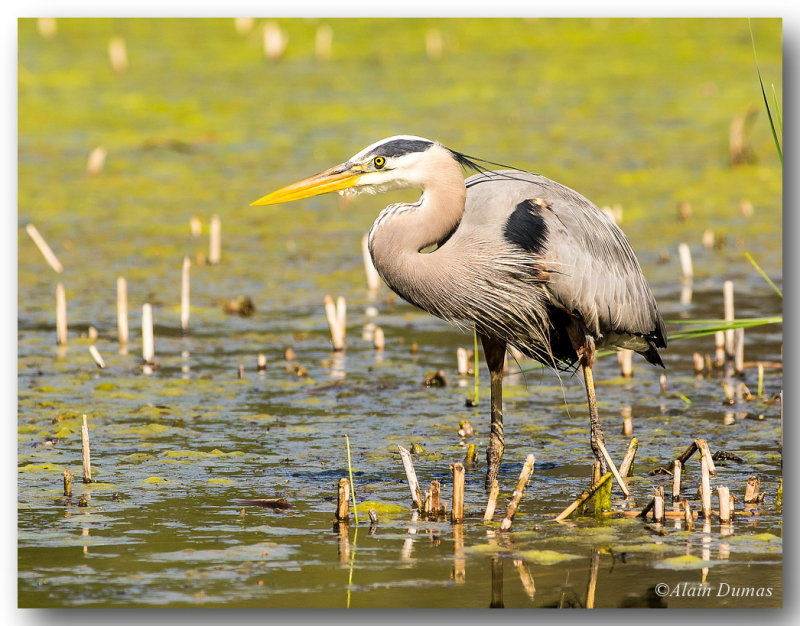 Grand Héron - Great Blue Heron