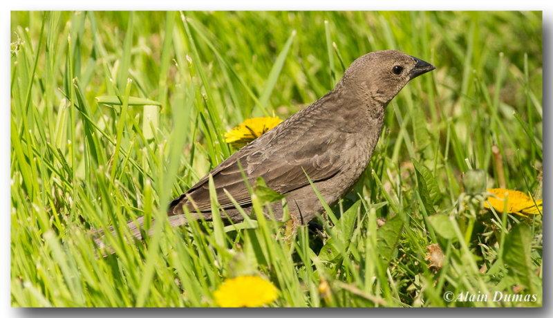 Vacher à Tête Brune femelle - female Brown-Headed Cowbird