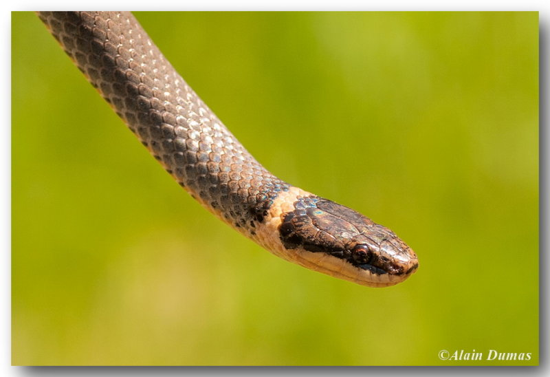 Couleuvre à Collier - Ringneck Snake