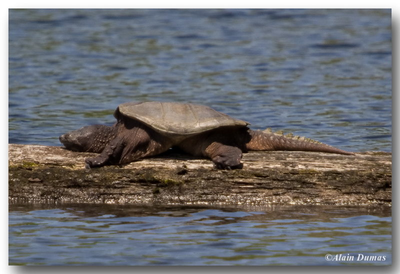 Tortue Serpentine - Common Snapping Turtle
