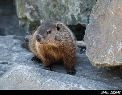 Marmotte Commune - Groundhog