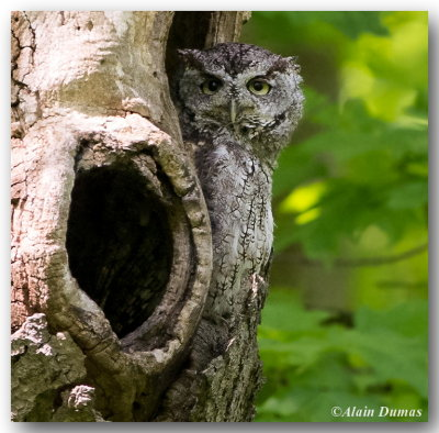 Petit-Duc Maculé, forme grise - Eastern Screech-Owl, grey morph