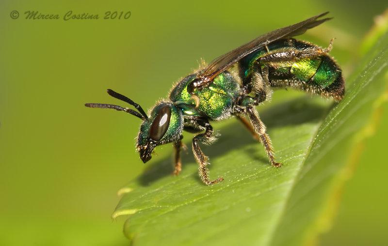 Halictid bee - Augochlorella sp