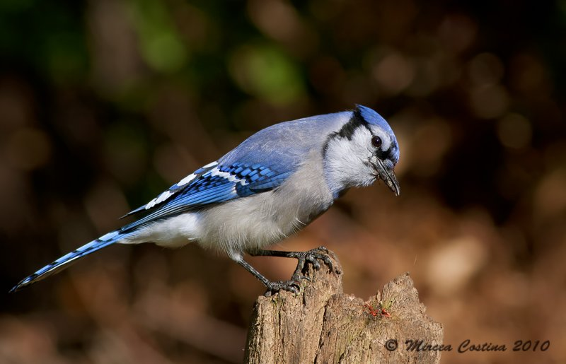 Blue Jay, Geai bleu (Cyanocitta cristata)