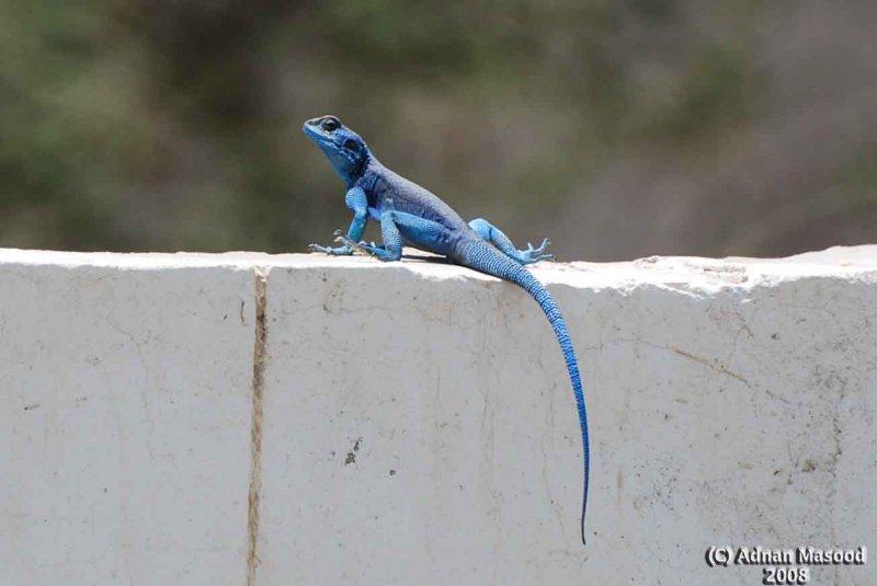 Blue Lizard.jpg
