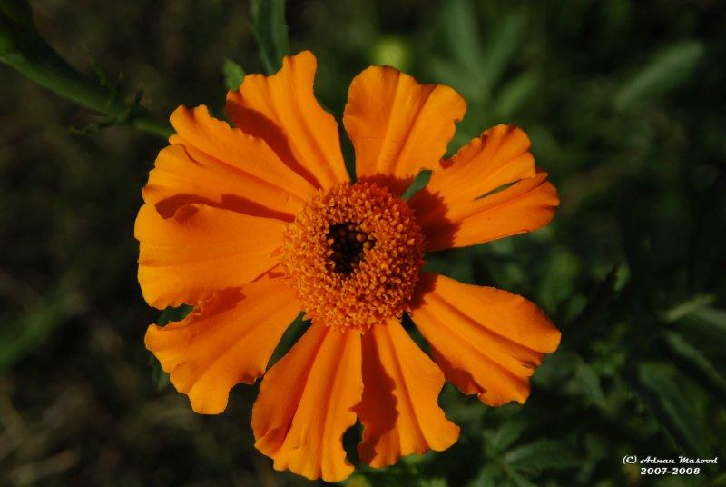Flower-038.JPG